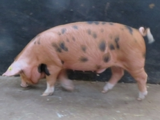 Oxford Sandy and Black Birth notified Jack Boar for sale