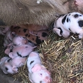 GOS x OSAB piglets for sale