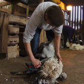 Traditional Sheep Shearing Service