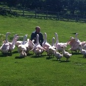 Flock of 17 geese for sale
