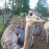 Two adult grey Female Rhea for sale