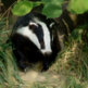 Farming associations go against Labour on badger cull issue